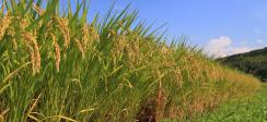 [보도] 쌀 소비 감소 전망, 소비 변화 반영한 정책 추진 필요